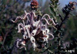 O floral Grey Spider Flower é ótimo para crianças que têm pesadelo!