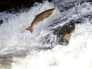 o salmão de boa qualidade é o que vive livre na natureza