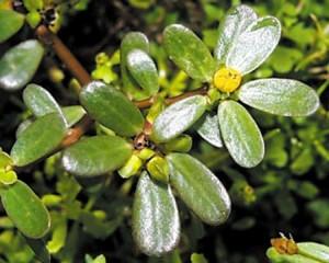 A beldroega é deliciosa e é um remédio natural para muitos males!